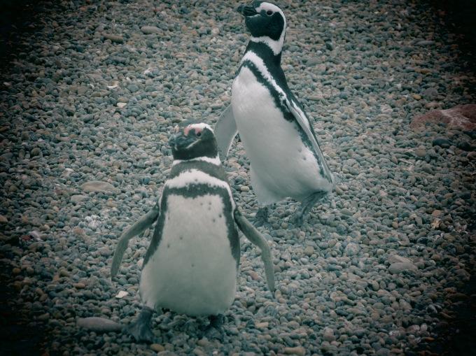 dos pinguinos tombo